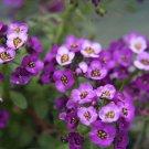 "Guarantee 2001 Seeds PURPLE DWARF SWEET ALYSSUM Flower Seeds ""ROYAL CARPET"" Groundcover/Baskets"