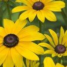 Guarantee 2001 Seeds BLACK EYED SUSAN Flower Seeds American Native Wildflower Butterflies Bees