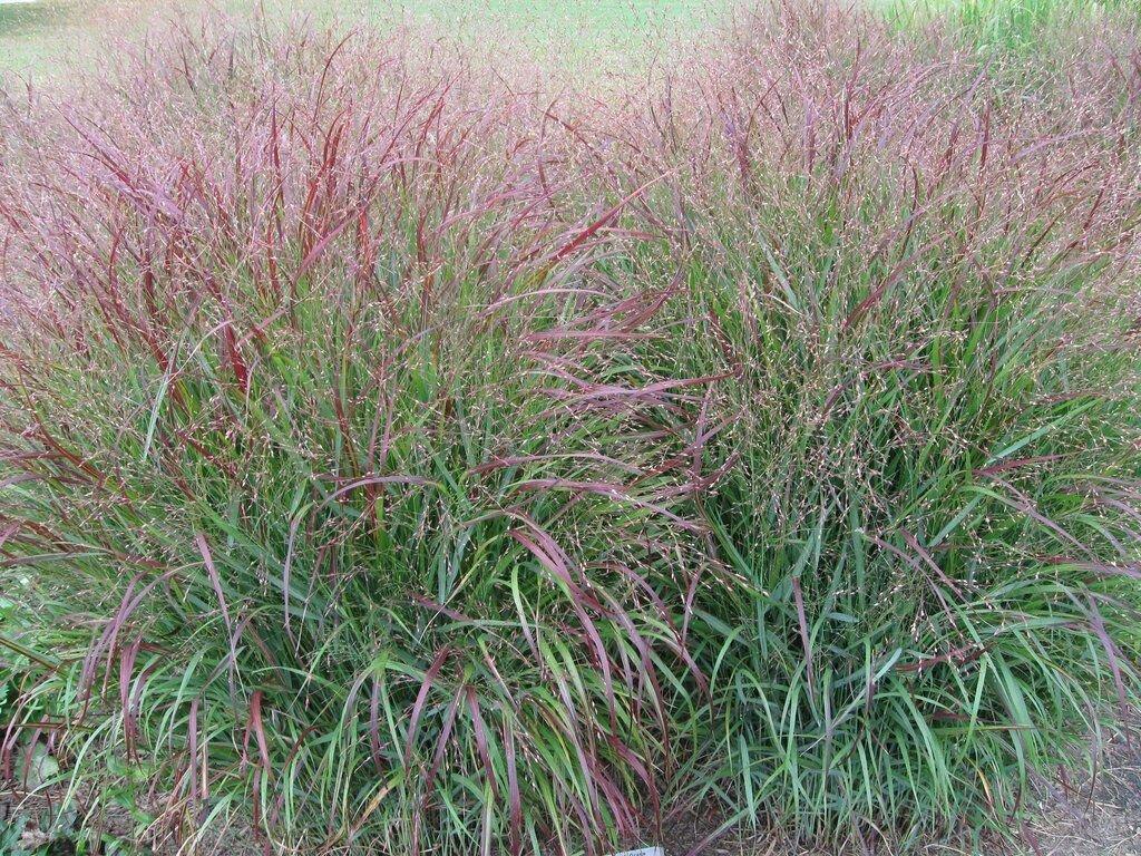 Guarantee 1 OZ=20000 Seeds SWITCH GRASS Seeds Native Prairie Grass Clumping Ornamental Perennial