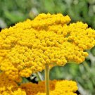 Guarantee 1001 Seeds GOLD/YELLOW YARROW Seeds Milfoil European Wildflower Medicinal Butterflies