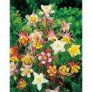 Guarantee 101 Seeds MCKANA GIANTS MIX Seeds Columbine Native Wildflower Garden/Patio Containers
