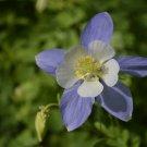 Guarantee 100 Seeds ROCKY MOUNTAIN COLUMBINE Seeds Native Wildflower Colorado Garden