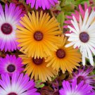Guarantee 8000 Seeds ICE PLANT MIX Seeds (Livingston Daisy) Ground Cover Rock Garden