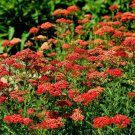 Guarantee 1000 Seeds RED YARROW Seeds Milfoil European Wildflower Medicinal Butterflies Bees
