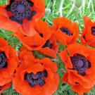 Guarantee 1001 Seeds ORIENTAL POPPY Flower Seeds Mid-Summer Blooms Long Life Garden/Container