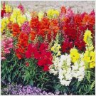 Guarantee 16,000 Seeds TALL SNAPDRAGON MAXIMUM MIX Flower Seeds Butterfly Garden/Patio Container