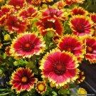 Guarantee 200 Seeds BLANKET FLOWER Seeds American Native Wildflower Perennial Butterflies Garden