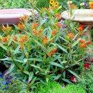 Guarantee 200 Seeds BLOOD FLOWER Seeds Tropical Scarlet Milkweed Wildflower Monarch Butterflies