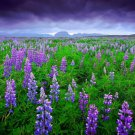 Guarantee 2800 Seeds 1oz SKY/DWARF LUPINE Seeds Native Northwest Wildflower Spring/Summer Bulk