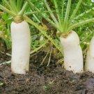 Guarantee 200 Seeds  DAIKON MINOWASE RADISH Seeds Organic Non-GMO Fall/Spring Garden
