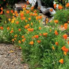 Guarantee 1000 Seeds ORANGE CALIFORNIA POPPY Flower Seeds Native Wildflower Garden/Container