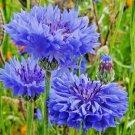 Guarantee 500 Seeds DWARF BLUE BACHELOR BUTTON CORNFLOWER Seeds Deer Resistant Garden