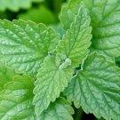 Guarantee 501 Seeds CATNIP Seeds Sedative Herbal Tea Fly/Mosquito Repellent Containers/Garden