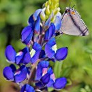 Guarantee 125 Seeds TEXAS BLUEBONNET LUPINE Flower Seeds Native Wildflower Blooms Spring/Summer