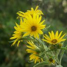 Guarantee 200 Seeds MAXIMILIAN (Prairie) SUNFLOWER Seeds American Native Wildflower PERENNIAL