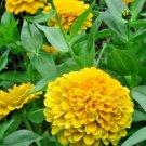 "Guarantee 300 Seeds  ZINNIA""CANARY BIRD"" Flower Seeds Yellow 5"" Flowers Blooms Summer to Fall"