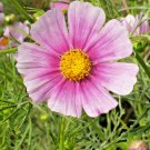 """Guarantee 300 Seeds COSMOS """"DAYDREAM"""" Seeds Easy Annual Butterflies Bees Drought Tolerant Kids"""