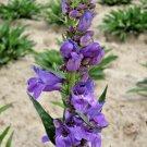 Guarantee 400 Seeds ROCKY MOUNTAIN PENSTEMON Seeds American Native Wildflower Hummingbirds Bee's