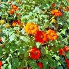 Guarantee 1 OZ=2800 Seeds MEXICAN SUNFLOWER Seeds Hummingbirds Butterflies Bee's Summer to Fall