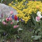 "Guarantee 2000 Seeds ""BASKET OF GOLD"" SWEET ALYSSUM Flower Seeds Groundcover/Baskets"
