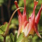 Guarantee 100 Seeds EASTERN RED COLUMBINE Seeds American Native Wildflower Garden/Container