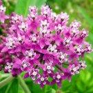 Guarantee 100 Seeds SWAMP/ROSE MILKWEED Seeds Monarch Butterflies American Native Wildflower