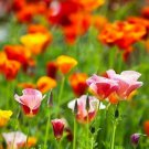 Guarantee 1000 Seeds CALIFORNIA POPPY MIX Native Wildflower Seeds White Orange Pink Red Yellow