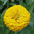 "Guarantee 1001 Seeds GIANT DAHLIA ZINNIA MIX Flower Seeds 10 COLORS Big 5"" Blooms Summer to Fall"