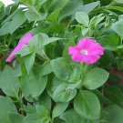 Guarantee 2000 Seeds  WILD PETUNIA VIOLACEA Flower Seeds Garden/Patio Containers Hanging Baskets