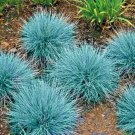 Guarantee 500 Seeds BLUE FESCUE Ornamental Grass Seeds Clumping Drought Tolerant Low Maintenance