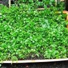 Guarantee 1500 Seeds WATERCRESS Organic Non-Gmo Seeds SUPERFOOD Spring/Fall Garden