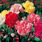 """Guarantee 200 Seeds CARNATION """"CHABAUD MIX"""" Flower Seeds 8 COLORS Big Long Lasting Blooms Garden"""