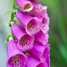 Guarantee 12,000 Seeds FOXGLOVE MIX Seeds Pink's Purple's White's Lavender's Garden/Container