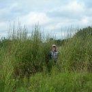 Guarantee 500 Seeds BIG BLUESTEM Seeds American Native Prairie Grass Clumping Ornamental Kansas