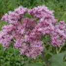 Guarantee 200 Seeds SWEET JOE PYE WEED Flower Seeds Vanilla Scented Native Wildflower Clumping