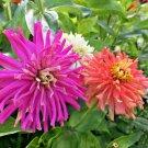 "Guarantee 300 Seeds GIANT CACTUS ZINNIA MIX Flower Seeds 5"" Blooms 6 COLORS Butterfly Garden"