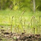 Guarantee 120 Seeds  MARY WASHINGTON ASPARAGUS Seeds American Heirloom Organic Non-GMO Easy