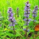 Guarantee 500 Seeds HEAL ALL Flower Seeds American Native Wildflower Medicinal Herb Fresh/Dried