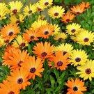 Guarantee 201 Seeds AFRICAN DAISY Seeds Yellow Orange Drought Heat Tolerant Garden