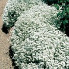 Guarantee 1000 Seeds SNOW IN SUMMER Seeds Chickweed Perennial Groundcover Drought Tolerant EASY