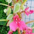 "Guarantee 125 Seeds DWARF BALSAM""TOM THUMB""MIX Flower Seeds Impatiens Patio Container/Garden"