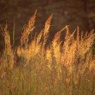 Guarantee 500 Seeds INDIAN GRASS Seeds Native Prairie Wildflower Clumping Ornamental Perennial