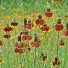 Guarantee 500 Seeds MEXICAN HAT Seeds Native Coneflower Western Wildflower Drought Tolerant SALE