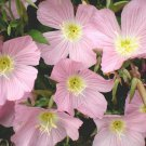 Guarantee 500 Seeds SHOWY/MEXICAN EVENING PRIMROSE Seeds Night Blooms Groundcover/Container SALE