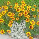 """Guarantee 250 Seeds DWARF FRENCH MARIGOLD """"Naughty Marietta"""" Seeds Garden/Patio Container EASY"""
