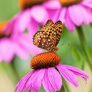 Guarantee 300 Seeds PURPLE CONEFLOWER Seeds American Native Wildflower Medicinal Long Life Span