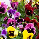 Guarantee 200 Seeds PANSY SWISS GIANTS Seed Early Blooms 9 Colors Containers Garden Groundcover