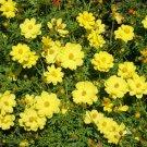 "Guarantee 1OZ=4000 Seeds LEMON DWARF COSMOS Flower Seeds 24""- 30""Tall Drought Tolerant Compact"