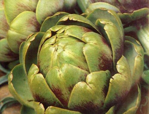 Guarantee 40 Seeds GREEN GLOBE ARTICHOKE Seeds Organic Non-GMO Antioxidants Garden / Containers
