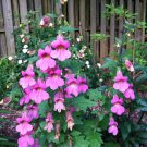 """Guarantee 200 Seeds CHINESE FOXGLOVE Flower Seeds Large 2-3"""" Raspberry Blooms Garden/Container"""